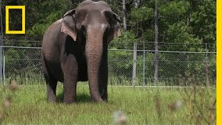 Download When Ringling Bros. Retires Its Elephants, This is Where They Live | National Geographic Video