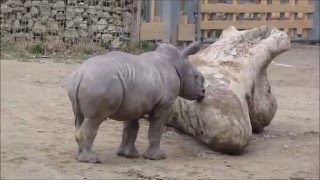 Download Hand-reared white rhino calf Kibo Video