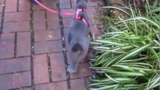 Download Walking a cat on a leash (Russian blue) Video