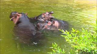 Download Hippo Family in Los Angeles Zoo (2015) Video