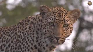 Download Safari Live : Xidulu Female Leopard on drive this afternoon/evening with Tristan March 26,2018 Video