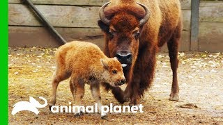 Download Newborn Baby Bison Gets Her First Medical Check-Up | The Zoo Video
