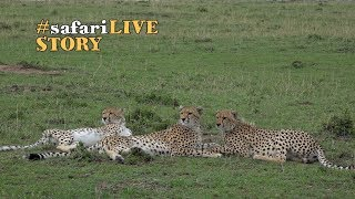 Download Malaika, the Cheetah, and Her Two Sons Video