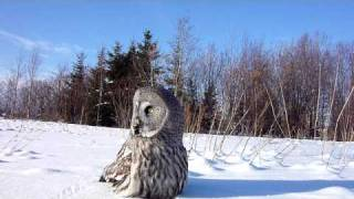 Download Great Grey Owl (Strix nebulosa) flies towards the camera and eats a mouse Video