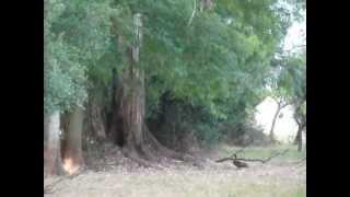 Download Pato Real (Cairina moschata) vuela hacia el nido en un eucalipto, al sur de Federación Video