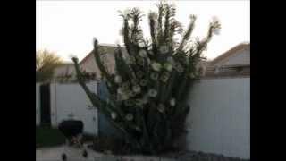 Download Cereus Peruvianus ~ 500 blooms in 15 days Video