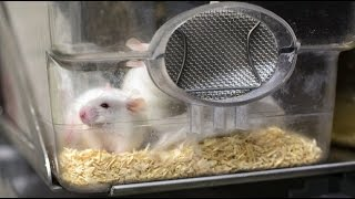 Download A real-life Fountain of Youth? Scientists reverse aging in lab mice Video