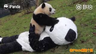 Download Keeper wears panda costume to interact with cubs to protect them from human attachment Video