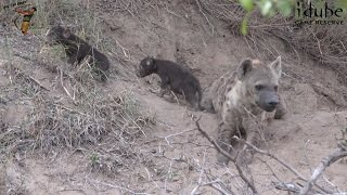 Download New Hyena Cubs Video
