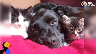 Download Pit Bull Who Misses Her Cat Falls In Love With Foster Kittens - ZUCA | The Dodo Video