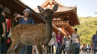 Download Nara Deer visit the temple - Japan: Earth's Enchanted Islands: Episode 1 Preview - BBC Two Video