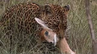 Download Pt 2 Safari Live's Sunrise Safari Drive at 7:30 AM on Jan 16, 2018 ( Thandi, Cub and Tingana ) Video