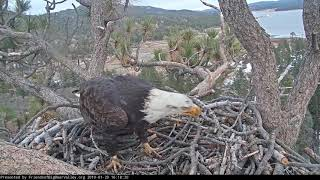 Download 01-20-19 Big Bear Lake eagles; eagle chase with Shadow and a juvie, or maybe an RTH. Video