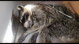 Download Rabid Raccoon Removal Video