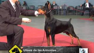 Download Top Twenty del Dobermann 2010 ″Perros en acción″ Video