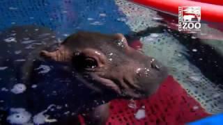 Download Premature Baby Hippo Fiona Loves the Water - Cincinnati Zoo Video