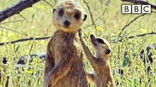 Download Spy meerkat helps babysit   Spy in the Wild - BBC Video