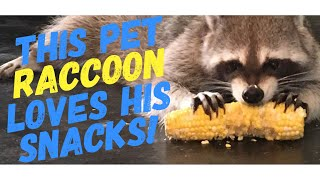 Download Pet raccoon loves to snack all day (compilation) Video