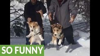 Download Slow motion Corgi drop into deep snow Video