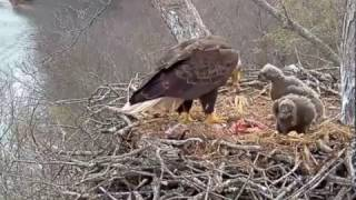 Download Dale Hollow Eagle Cam, Fish #3, 032517 Video