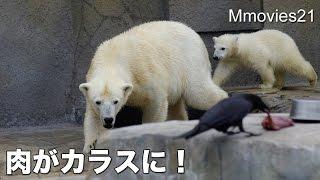 Download Polar Bear's Feeding ホッキョクグマ親子に給餌 Video