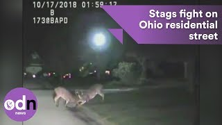 Download Disorderly behaviour! Ohio police allow stags to battle it out in residential street Video