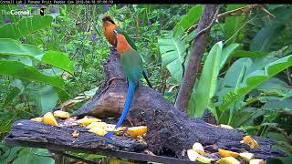 Download Rufous Motmots Exhibit Allofeeding Behavior On Panama Fruit Feeder – April 18, 2018 Video