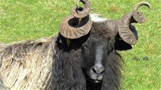 Download Ibric Sanel nomad pod planinom Manjacom Video