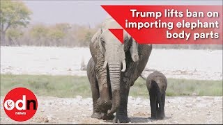 Download Trump lifts ban on importing elephant body parts Video