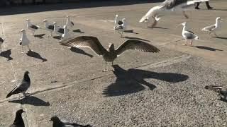 Download Seagulls Embarcadero San Francisco 10 15 2019 Video