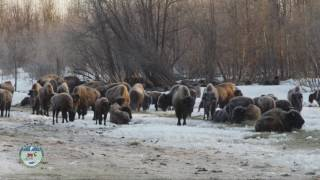 Download Historic Bison Release in Alaska Video