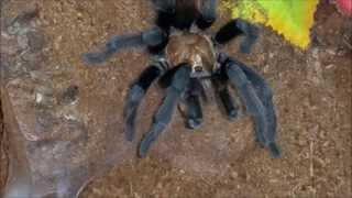 Download Tarantula Feeding Video 8 - Eggs and a new molt! Video