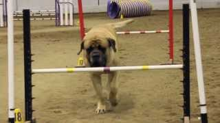 Download Mastiff Competing At Dog Agility Video