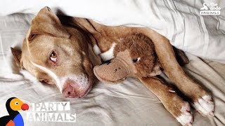 Download Pit Bull Dog Celebrates Being Cancer Free With A Huge Dog Party | The Dodo Party Animals Video