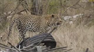 Download Safari Live : Three Male Leopards in one sighting, Hosana, Thamba and Tingana Oct 14, 2017 Video