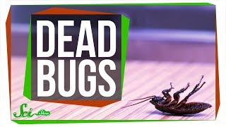 Download Why are Dead Bugs Always on Their Backs? Video