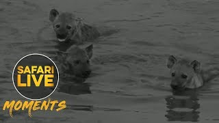 Download Hyenas Host a Pool Party! Video