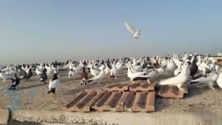 Download Meşhur Oynakçı Pirinççi Metin Abinin Güvercinleri Video
