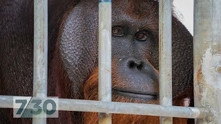 Download For six years, this orangutan lived in a tiny cage. Now he's nearly free | 7.30 Video