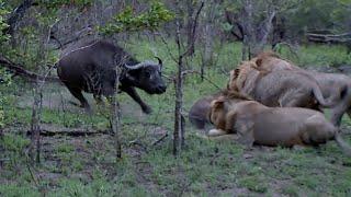 Download Buffalo kill caught on camera! Video