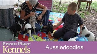 Download Aussiedoodles For Sale - Puppy Aussiedoodles For Sale - Breeders Video