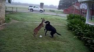 Download Dog versus Deer ORIGINAL Video
