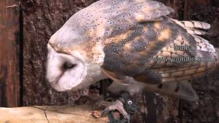 Download Owls - An Amazing Collection Of Owls Video