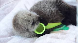 Download Tiny Male Otter Pup Patient at our Rescue Centre Video