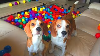 Download DIY Living Room Ball Pit : Cute Dogs Louie & Marie Video