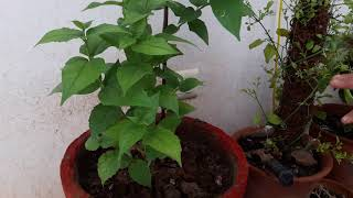 Download How to grow and care Harsingar plant || Care of Harsingar plant Video