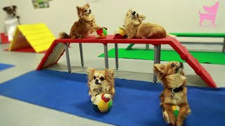 Download Cute Chihuahua Dog Tricks and Agility Video