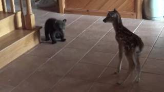 Download Bear Cub meets fawn for first time Video