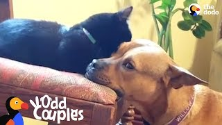 Download Kitten Becomes The Leader Of Her Dog Pack | The Dodo Odd Couples Video