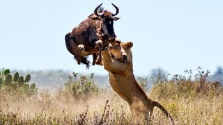 Download Impressive Scene! Lion Seize The Opportunity To Chase Wildebeest To Migrate - Discovery Wild Animal Video